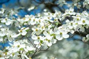 Dogwood Tree, Arnold Arboretum, Boston