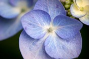 Blue Lacecap Hydrangea, Massachusetts