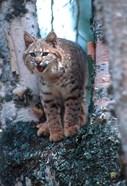 Close-Up Of A Bobcat