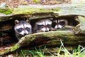 Three Young Raccoons In A Hollow Log