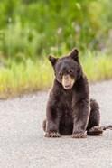 Bear Cub On Camas Road