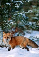 Red Fox Walking In Snow, Montana