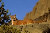 Mountain Lion, Montana