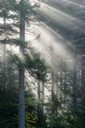 Sun Rays Shining Through Foggy Pine Trees