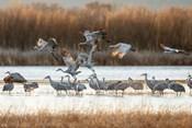 Sandhill Cranes Flying, New Mexico