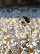 Snow Geese Landing In Corn Fields, New Mexico