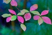 Wild Dogwood Leaves In Autumn