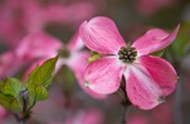 Close-Up Of A Pink Dogwood Blossom