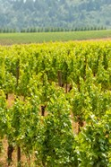 Winery And Vineyard In Dundee Hills, Oregon