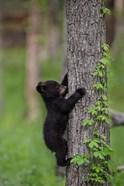 Black Bear Cub Climbing A Tree