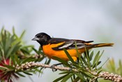 Baltimore Oriole Perched