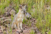 Gray Fox On A Hillside