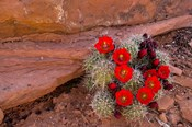 Red Flowers Of A Claret Cup Cactus In Bloom