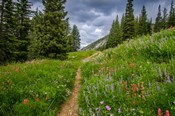 Wildflowers In The Albion Basin, Utah