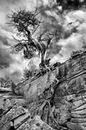 Desert Juniper Tree Growing Out Of A Canyon Wall, Utah (BW)