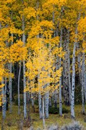 Yellow Aspens In The Flaming Gorge National Recreation Area, Utah
