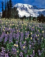 Field Of Lupine And Bistort In Paradise Park