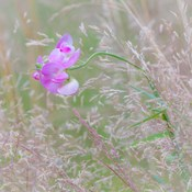 Sweet Pea Blossoms In A Meadow