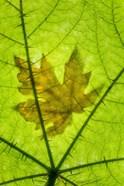 Big Leaf Maple On A Devil's Club Leaf