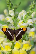 California Sister Butterfly On Yellow And White Snapdragon Flowers