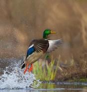 Mallard Duck Takes Flight Off Lake Washington