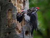 Pileated Woodpecker Aside Nest With Two Begging Chicks