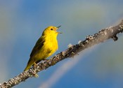 Yellow Warbler Sings From A Perch