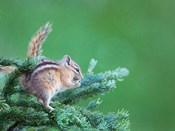 Chipmunk Feeds On New Growth Of Subalpine Fur Needles