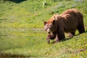 American Black Bear In A Wildflower Meadow