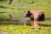 American Black Bear Takes A Cool Bath Near Mystic Lake