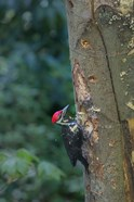 Pileated Woodpecker Holing Out A Nest