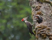Pileated Woodpecker With Begging Chicks