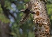 Female Pileated Woodpecker Flies From Nest In Alder Snag