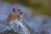 Pika With Its Tongue Out