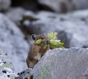 American Pika Collecting Leaves