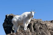 Mountain Goat Climbing Rocks