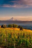 Mt Hood From A Vineyard