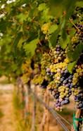 Cabernet Franc Block In A Vineyard