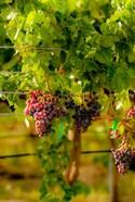 Grenache Block In A Vineyard