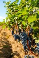 Vineyard Grapes Near Harvest