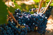 Petit Verdot Grapes From A Vineyard