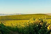 Vineyard At Royal Slope, Washington State