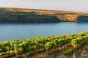 Vineyard Overlooking The Columbia River