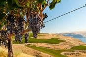 Merlot Grapes Hanging In A Vineyard
