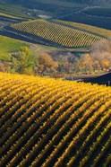 Vineyards, Walla Walla, Washington State