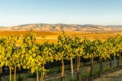 The Blue Mountains Overlook A Vineyard, Washington State
