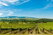 Vineyard Landscape In Walla Walla