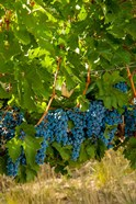 Cabernet Sauvignon Grapes Near Harvest