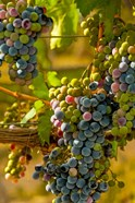 Cabernet Franc Block In Harvest