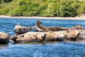 Harbor Seal Gathering At Liberty Bay